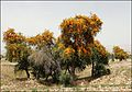 Tecomella undulata درخت سمنگ، انار شیطان - panoramio.jpg