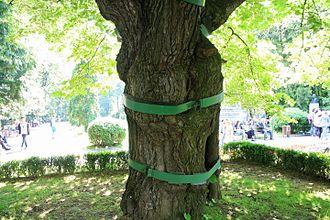 Eminescu's Linden Tree - Image: Teiul lui Eminescu (detaliu)