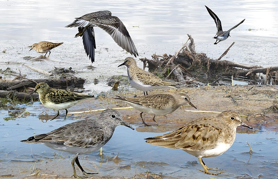 Temminck's Stint from the Crossley ID Guide Britain and Ireland