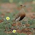 Temminck's courser, Cursorius temminckii, at Mapungubwe National Park, Limpopo Province, South Africa (31921735717).jpg