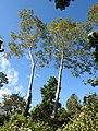 Tetameles nudiflora Habit (3).jpg