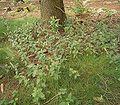 Teucrium scorodonia 01 ies.jpg