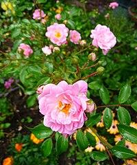 The Fairy Rosa.JPG
