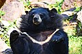 The Himalayan black bear (Ursus thibetanus) is a rare subspecies of the Asiatic black bear. 27.jpg