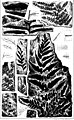 The fossil plants of the Devonian and Upper Silurian formations of Canada (microform) (1871) (19990491184).jpg