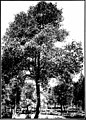 The indigenous trees of the Hawaiian Islands (1913) (20537964650).jpg