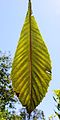 The leaf of Loquat.jpg