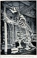 The skeleton of a South American ground-sloth in a museum. L Wellcome V0023190.jpg