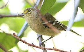 Thick-billed Vireo on twig.jpg