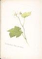 Thimble-berry, Rubus parviflorus MET DP808526.jpg