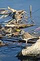 Three-banded plover (2464899767).jpg