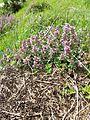 Thymus pulegioides subsp. pulegioides sl3.jpg