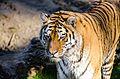Tiger (15600766906).jpg