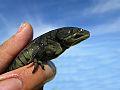 Tiger Salamander (9555490453).jpg