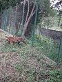 Tiger from Bannerghatta National Park 8497.JPG
