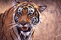 Tigress (Panthera tigris) (19616643259) (2).jpg