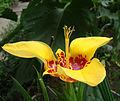 Tigridia pavonia 004.jpg