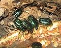 Tinfoil Beetles.jpg
