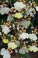 Tiny white and brown orchids (28740742555).jpg