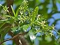 Toad-tree (Tabernaemontana elegans) flowers (11821772955).jpg