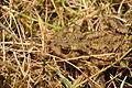 Toad near Venford Reservoir (4723).jpg