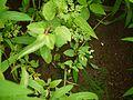 Torenia indica Sald. (6074006462).jpg