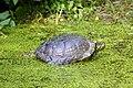 Tortue de Floride (Zoo-Amiens).JPG