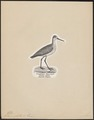 Totanus glottis - 1809-1845 - Print - Iconographia Zoologica - Special Collections University of Amsterdam - UBA01 IZ17400129.tif