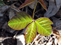 Toxicodendron radicans 01675.jpg