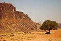 Tree with pickup truck and camels in Wadi Rum, Jordan.jpg