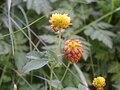 Trifolium badium517.JPG
