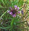 Trifoliumwilldenovii.jpg