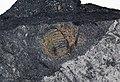Trilobite in pyritic black shale (Jigunsan Formation, Middle Ordovician; Seokgaejae section, Gangwon Province, South Korea) 2.jpg