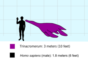 Trinacromerum - Trinacromerum with a human to scale