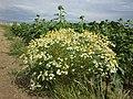 Tripleurospermum inodorum sl14.jpg