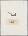 Triton marmoratus - 1700-1880 - Print - Iconographia Zoologica - Special Collections University of Amsterdam - UBA01 IZ11400129.tif