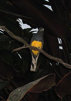 Trogon viridis at Baltimore Aquarium.jpg