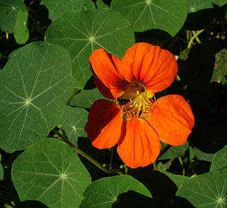 Tropaeolum majus - Flower and foliage