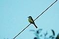 Tropical Kingbird (Tyrannus melancholicus) 2015-06-11 (1) (25456607487).jpg