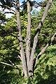 Tsuga diversifolia trunk PAN.JPG