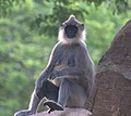Tufted gray langur female at Mihintale.jpg