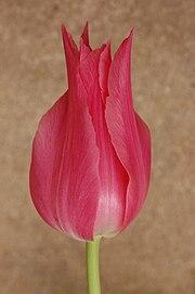 Tulip Tulipa Pink Cultivar 2000px.jpg