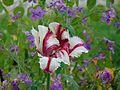 Tulpe im Benrather Schlosspark.jpg