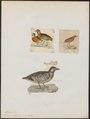 Turnix ocellata - 1700-1880 - Print - Iconographia Zoologica - Special Collections University of Amsterdam - UBA01 IZ17100175.tif