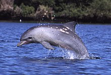 Profile photo of dolphin breaching.