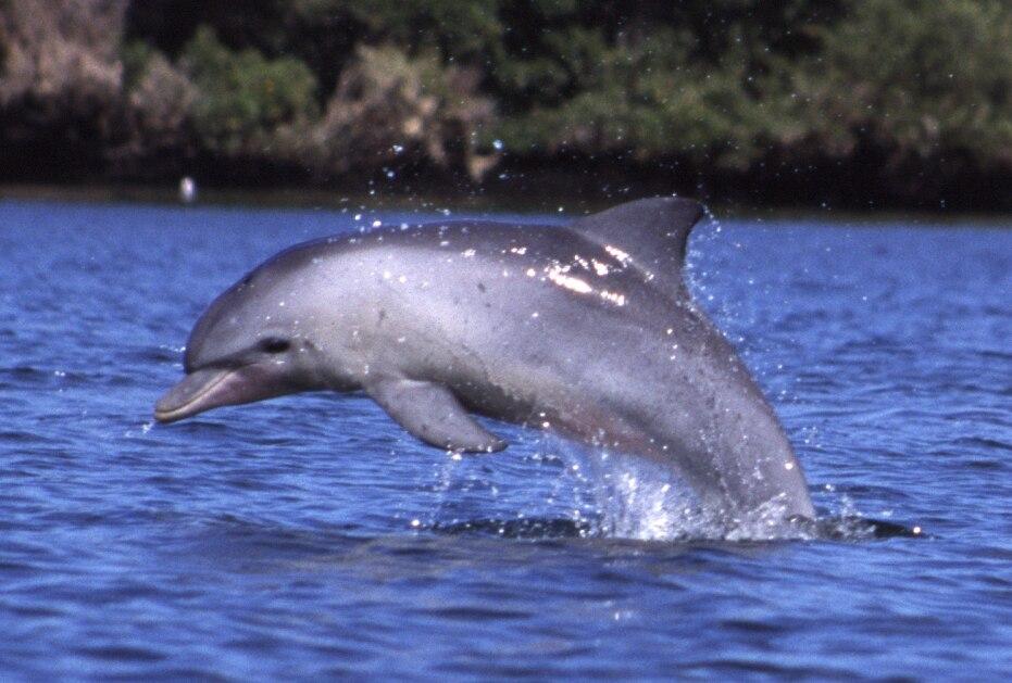 Tursiops aduncus, Port River, Adelaide, Australia - 2003