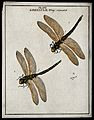 Two dragonflies (Libellulæ species); adults and eggs. Colour Wellcome V0022480.jpg