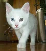 A white cat with differently coloured eyes.