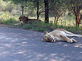 Two lions having a break after an unsuccessful hunt in Kruger National Park.jpg