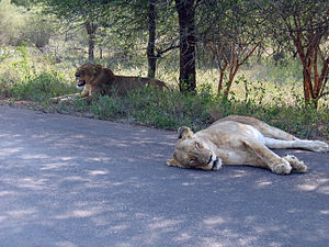 Great Limpopo Transfrontier Park - Image: Two lions having a break after an unsuccessful hunt in Kruger National Park